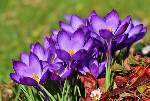 Crocus flowers by Capri23auto from Pixabay
