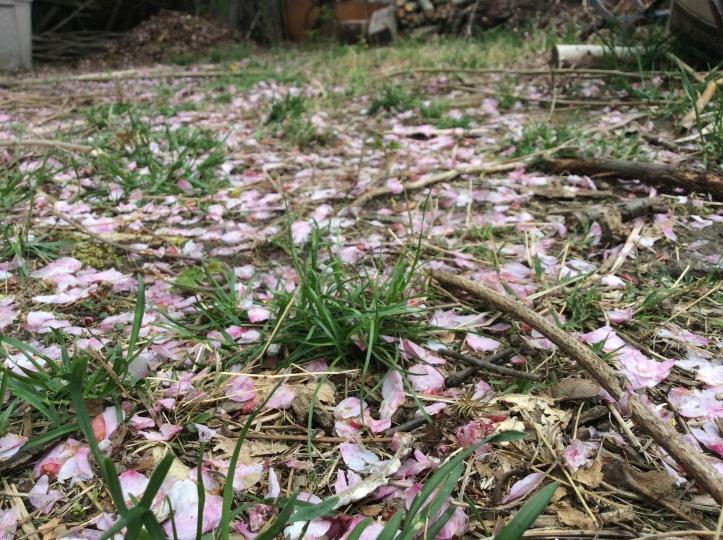 Cherry blossom petals on grass