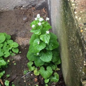 Garlic Mustard growing next to a cement step